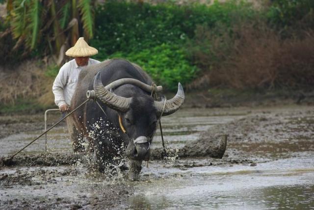 riziere buffle
